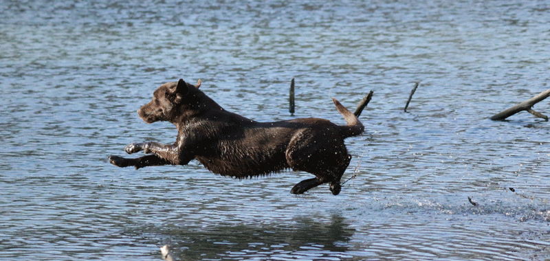 Leaping for the retrieve